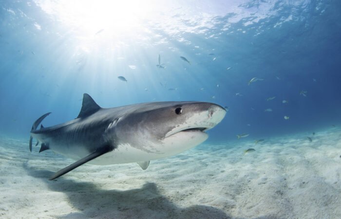 Tiburón tigre - Viajes GoPro