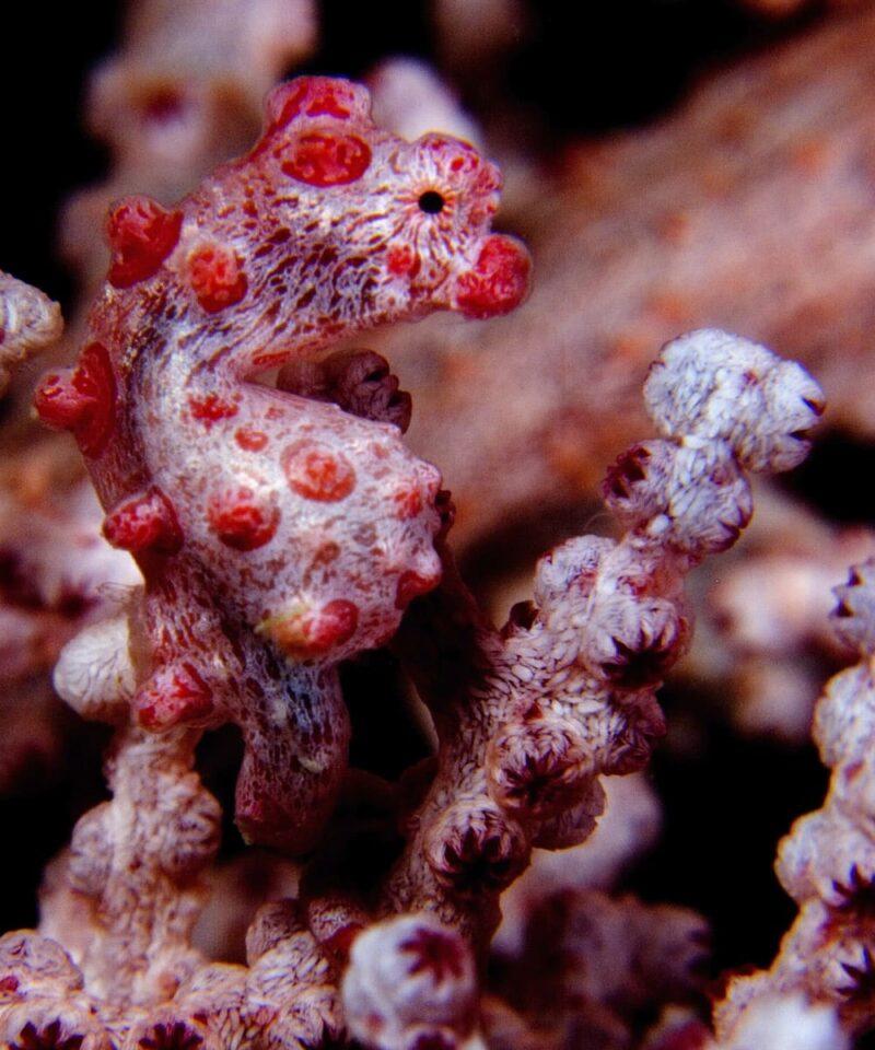 Caballito de mar pigmeo - Viajes GoPro