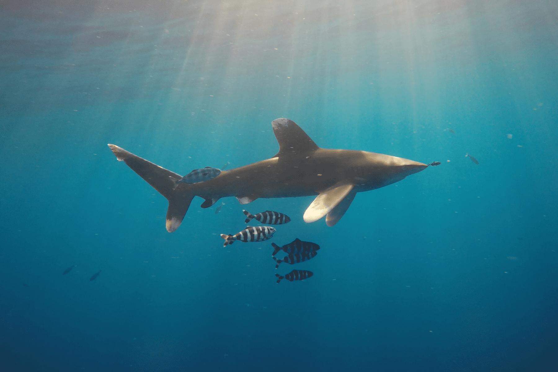 Tiburón longimanus BDE - Viajes GoPro